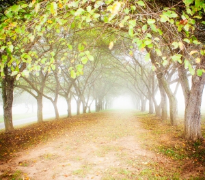 Fall tree path fog