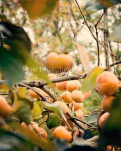 Peach tree2